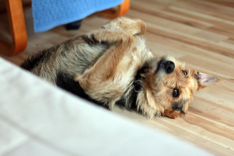 Chuck Bass terrier